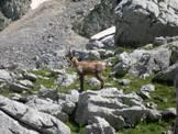 Via Normale Cima di Passo Cavuto - Camoscio al pascolo, Rupicapra pyrenaica ornata, in Val di Rose