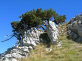 Via Normale Monte Pollino - Pini loricati lungo la salita