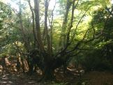 Via Normale Monte Gennaro - Uno dei numerosi faggi secolari che si incontrano nel bosco