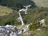 Via Normale Timpa Pino di Michele - Un pino loricato secco, il tronco resiste per secoli prima di essere abbattuto