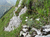 Via Normale Monte Piombada - Stelle alpine